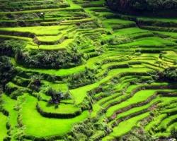 مصاطب الأرز فى بناوى