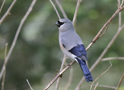 سباق داسيويشان الدولي للطيور